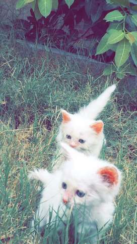 Persian Kitten Pair