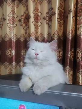 White Persian cat (Female)