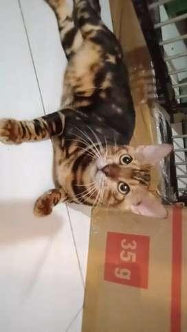 Kucing jantan shorthair tidak dijual