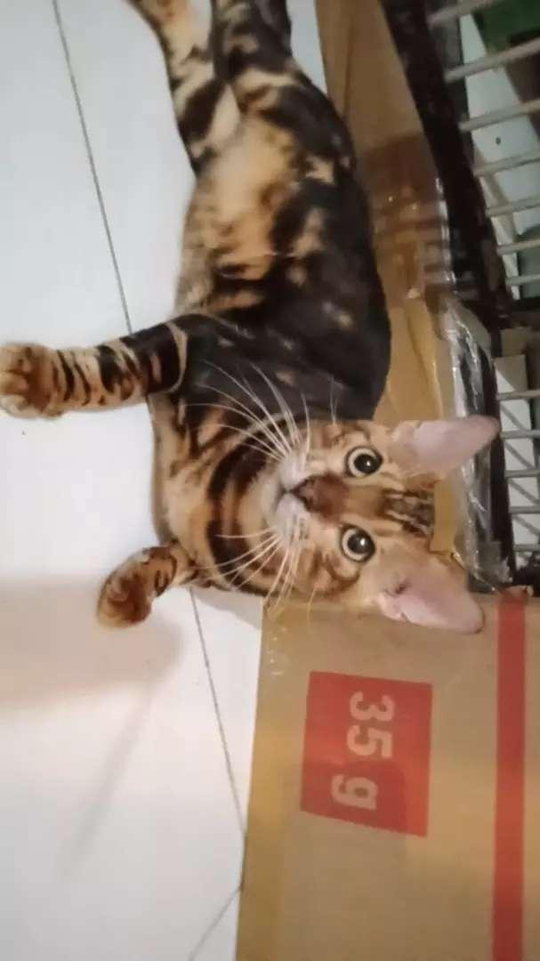 Kucing jantan shorthair tidak dijual 0