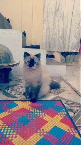 Di jual kucing persia hilmalaya
