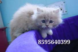 Cuddly Affectionate Persian Kittens and Cats Available