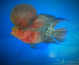 Flowerhorn Fish for aquarium