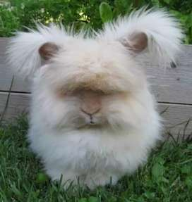 English Angora Breeder Female