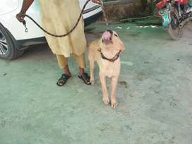 A breeding lab pair is available