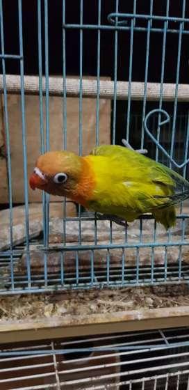Lovebird Biola euwing