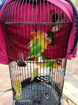 Burung lovebird beraneka jenis harga murah