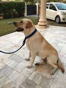 Purebred Lab available for breeding/mating