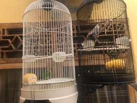 dijual love bird sepasang