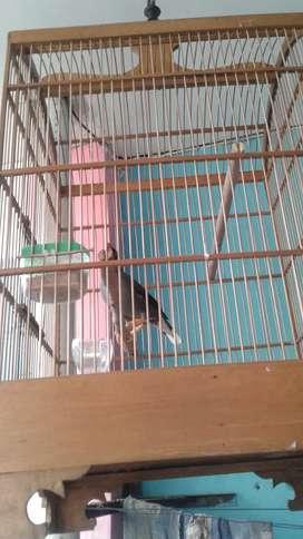Burung Kerak Omas ( Gacir )