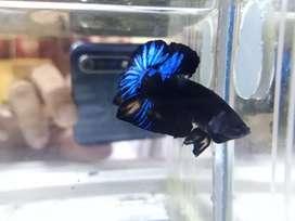 Ikan cupang avatar gordon