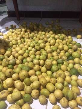 lemon lokal non biji