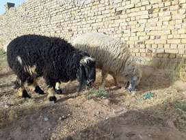Best heavy 2 sheep for sale