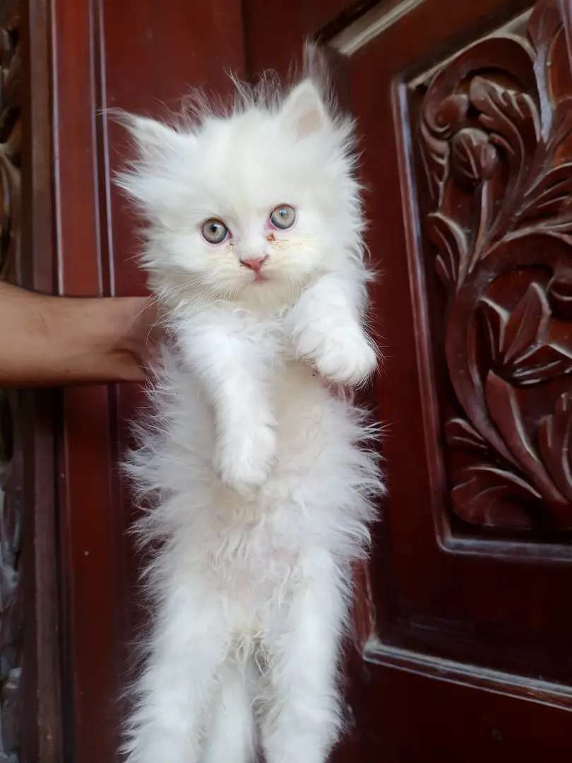 Best quality persian kitten available