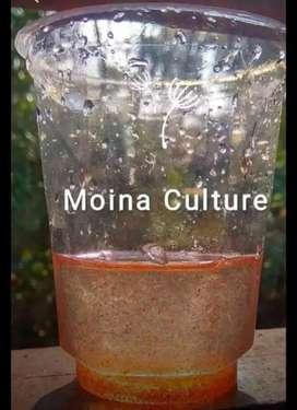 Moina Culture