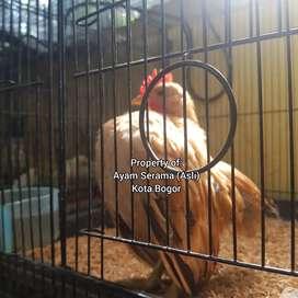 Ayam Serama Anakan dan remaja