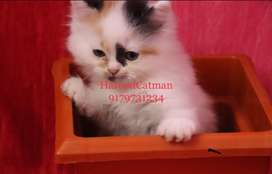 Persian kitten available top quality