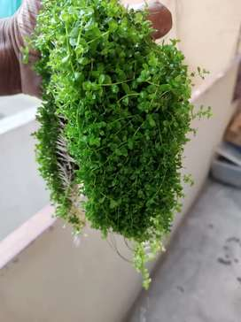 Aquarium plants for   sale