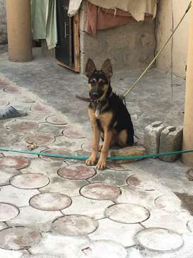Orignal gsd dog very intelegent and active vacintaed and dewormed