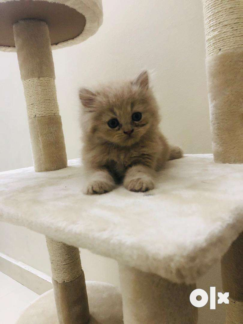 perisan kittens available in all colours 0