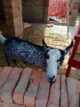 Burberry Makhi Chinni Breeder Goat for Sale