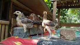 Ayam Pelung, anakan, bibit,