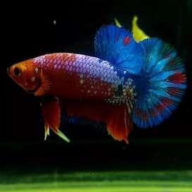 Ikan Cupang Red Fancy