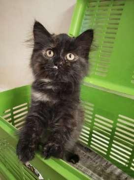 Kitten Persia Medium Betina Warna Tortie Umur 2 Bulan