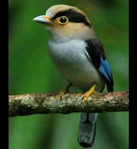 Burung Madi Dada Perak