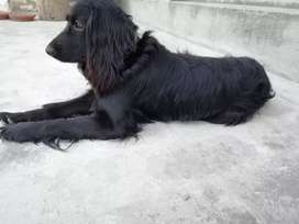 Super quality dog for sale in hassanabdal