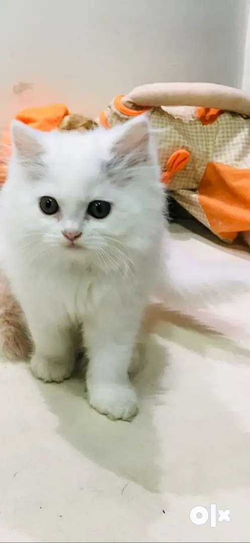 Persian kitten cheapest rate in Tricity 0