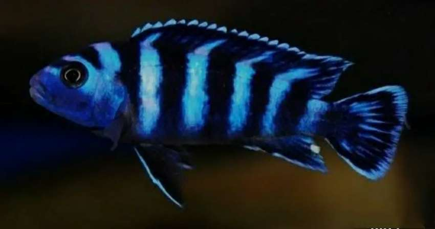 demasoni chiclid for sale past pices