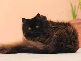 Full Groomed Persian Cat Chocolate Colour
