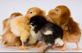 Austrolorp & RIR 1 Week old Chicks available for sale in Rawalpindi