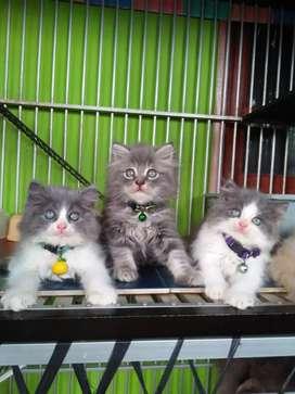 Kitten persia lucu-lucu,  semua imut dan gemesin banget