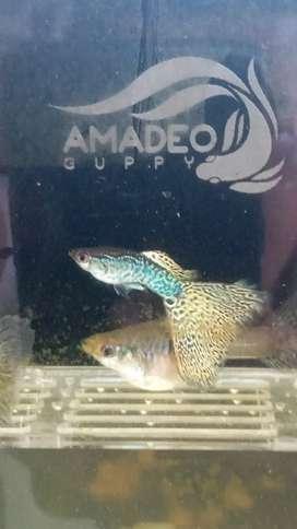 Ikan guppy yellow cobra size siap indukan diats 4 bln