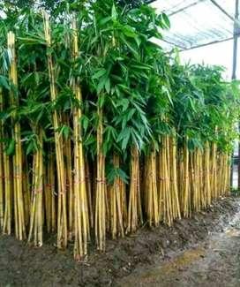 Menjual Pohon bambu Panda atau Bambu Kuning
