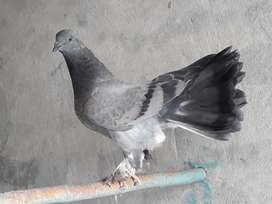 Pigeon pear for sale black and white age 4 month  in bahawalnagar city