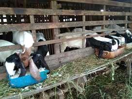Susu kambing asli peras