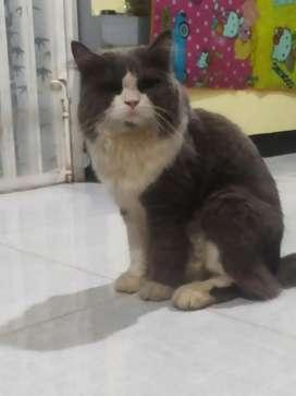 Kucing Persia Jantan motif Ragdoll