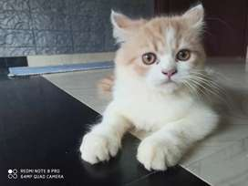 Persian cat for sale 2 month old