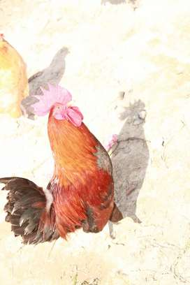 Hens and Cock