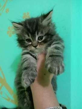 dark colour persian kitten