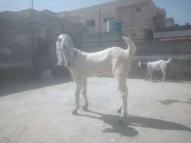 Bakra for sell age 5 manth achi haite or lam man bny wala