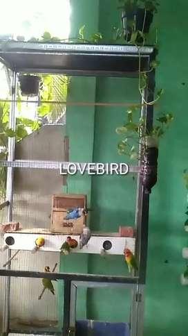 Lovebird LB Warna Koloni Produksi Paskun Batman
