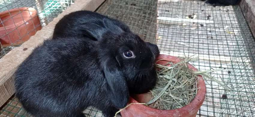 Gerabah pakan/Tempat makanan kelinci ukuran sedang