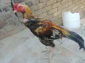 High quality aseel home breed