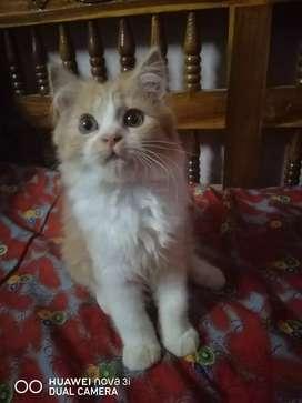 Presian cat