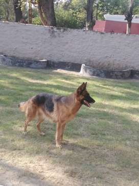 Female German Shepherd Dog