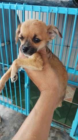 Anjing cihuahua mix pom